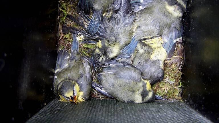 Een nest dode jonge pimpelmezen (foto:  Piet Hendriks).