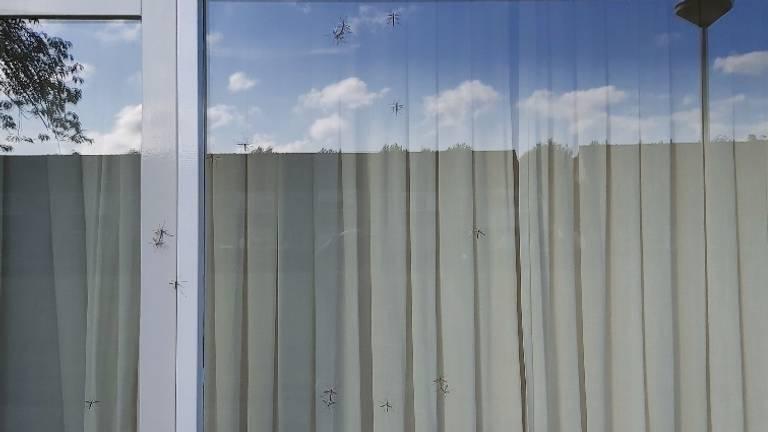 Een raam vol langpootmuggen.