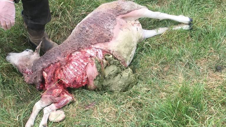 Door wolf verscheurd schaap.