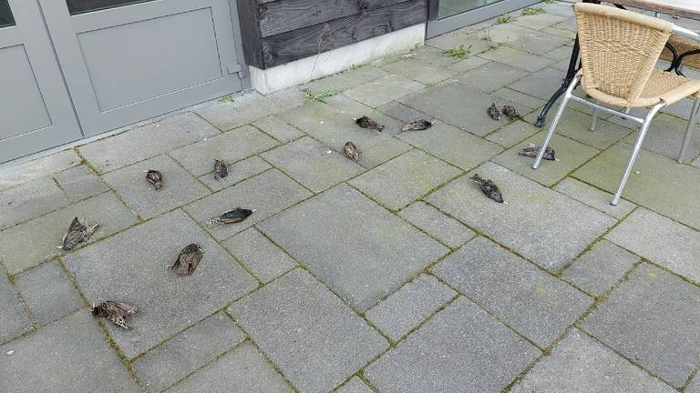 Dode spreeuwen in Someren (foto: Cor Meeuws).