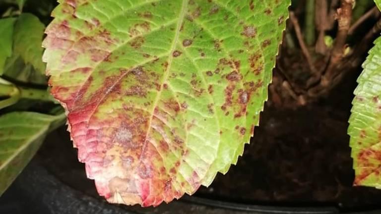 Roest op een hortensiablad (foto: Jos van der Pas).