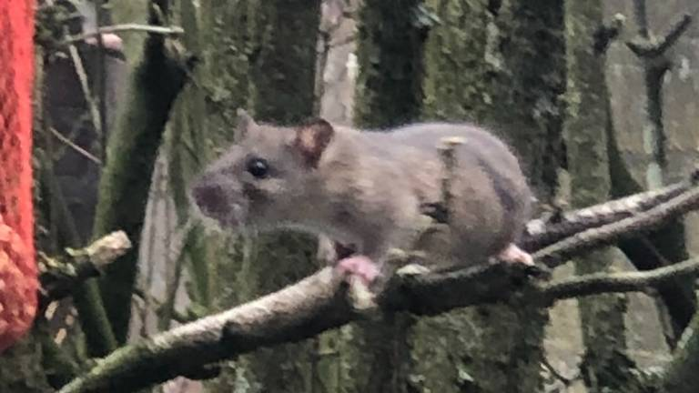 Een jonge bruine rat (foto: Patrick Blondeau).