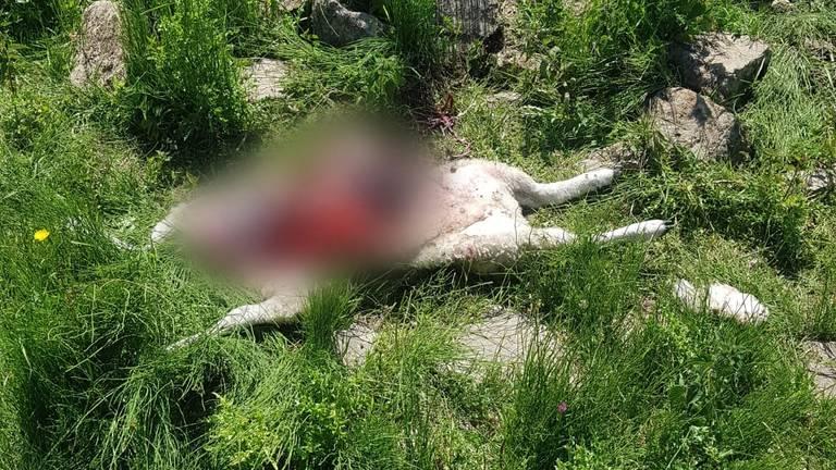Een lam was aangevreten door vermoedelijk een wolf (foto: Sjoerd Poorter)