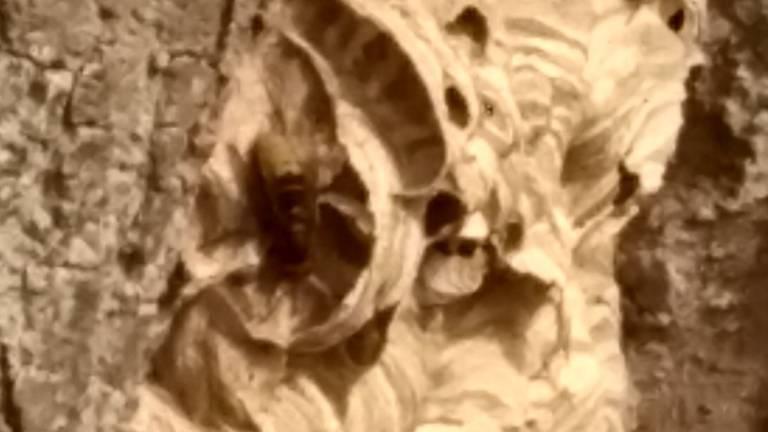 Het wespennest van de Europese hoornaar (foto: Monique van Aaken).