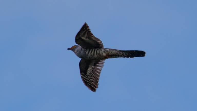 Een vliegende koekoek (foto: Pixabay).