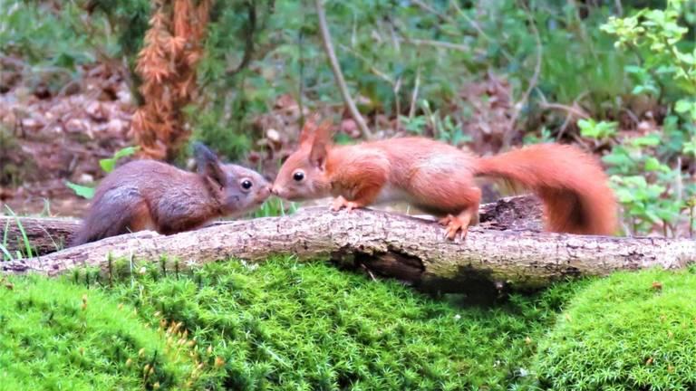 Twee van kleur verschillende gewone eekhoorns (foto: André van Drunen).
