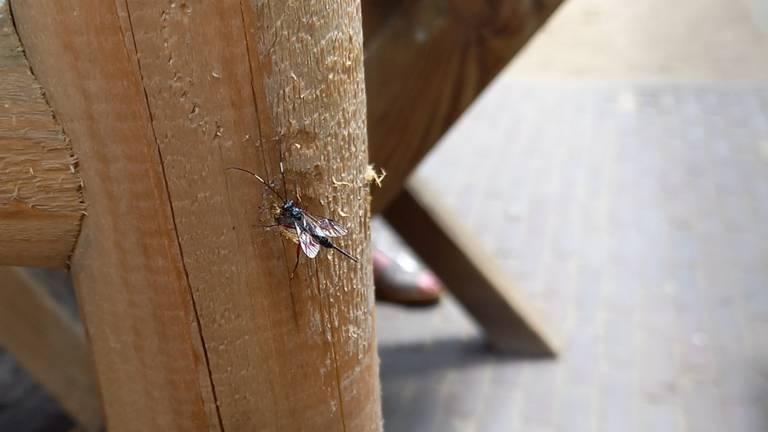Stenarella victoriae, een sluipwesp (foto: Willy Heesakkers).