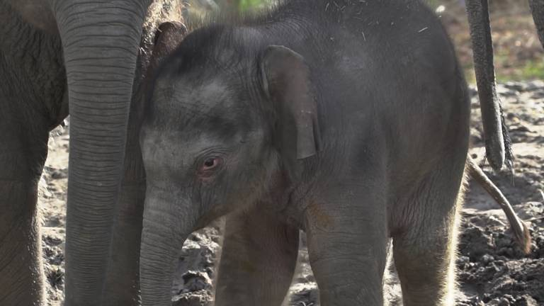 Rashmi, het olifantenjong van Dierenrijk (foto: Dierenrijk).