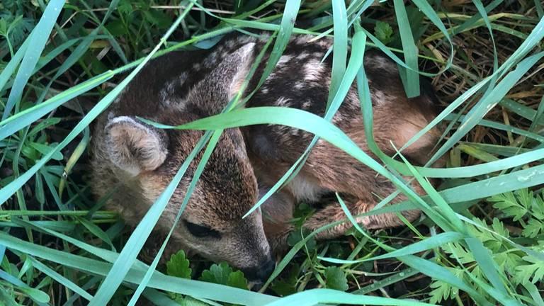 Reekalfjes in het gras (foto; Erik de Jonge).