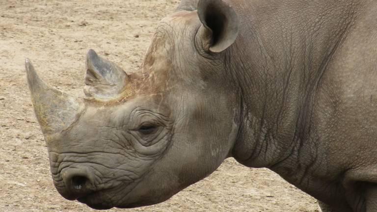 Hodari, het mannetje dat vanuit het Safari Resort verhuist naar het Safaripark (foto: Beekse Bergen).