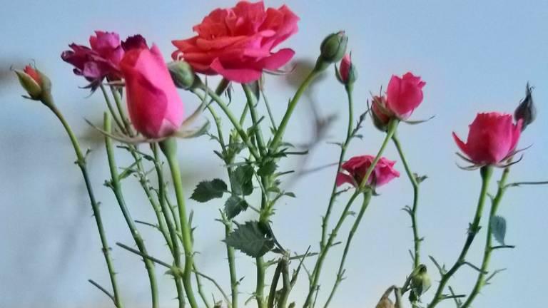 Afgeknabbelde blaadjes van rozen (foto: Gaby Schmidt).