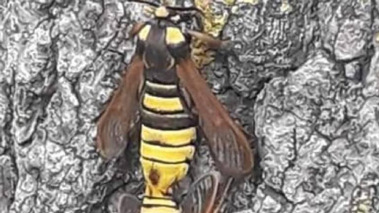 Een hoornaarvlinder (foto: Joleen van Rooy).