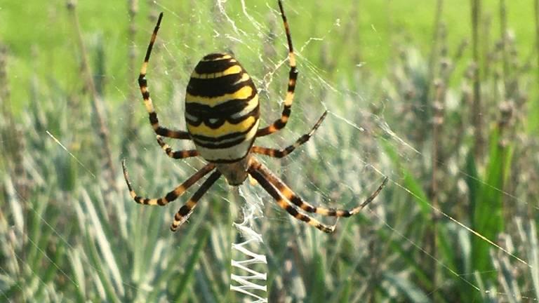 Een wespspin hangend in haar web, wachtend op een prooi (foto: Francine Olislagers).