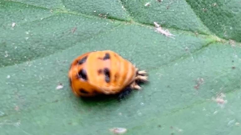 De pop van een lieveheersbeestje (foto: Marianne Maas).