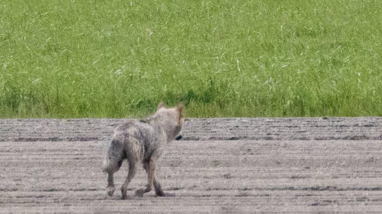 In de Dinstelsegorzen werd zondagmorgen een wolf vastgelegd door fotograaf Hans-Peter Nouwen.