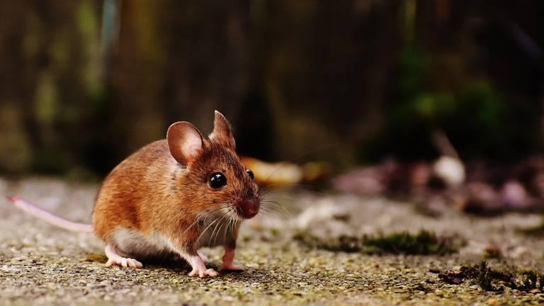 Een bosmuis (foto: Pixabay).