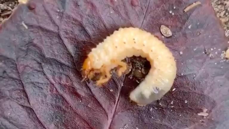 De larve van een bladsprietkever (foto: Marleen).