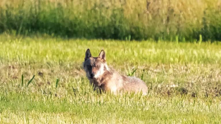 Een wolf