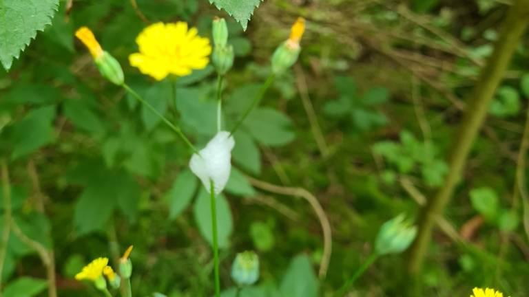 Spuug van de schuimcicade (foto: Wienet Laros).