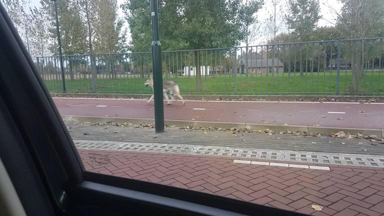 De Saarlooswolfhond in de buurt van Nederwetten.