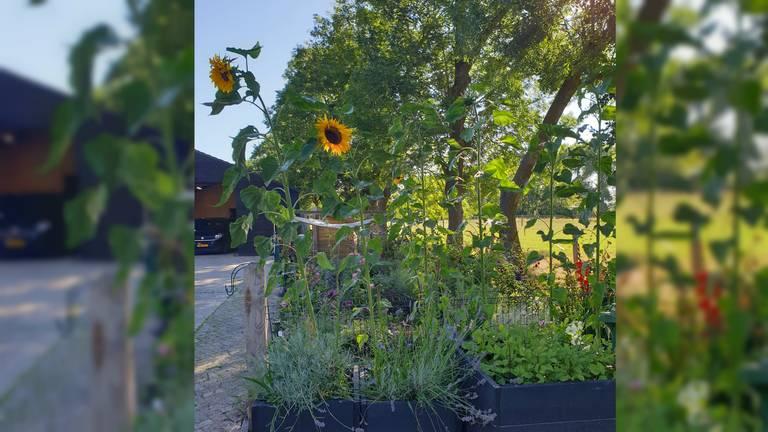 De  tuin van Judith staat vol met grote zonnebloemen (foto: Judith Nijssen).