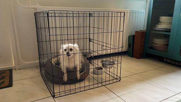 Chihuahua Faust is achtergebleven na het overlijden van zijn baasje.