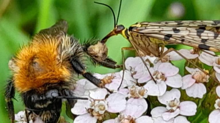 Duitse schorpioenvlieg valt een hommel aan (foto Corinne van den Brand).