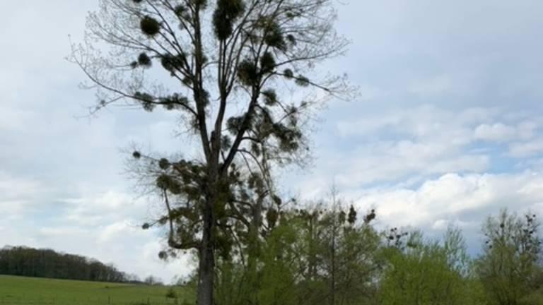 Maretakken in bomen (foto: Merel van Zwienen).