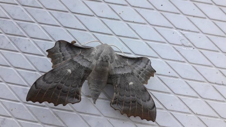 De populierenpijlstaart, een dagactieve nachtvlinder (foto: Jan van Rijswijk).