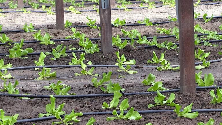 De sla kan je onder de panelen al eerder in het jaar planten.