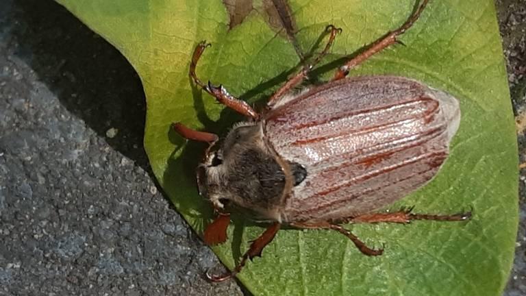 Het mannetje van de meikever (foto: An Roelen).