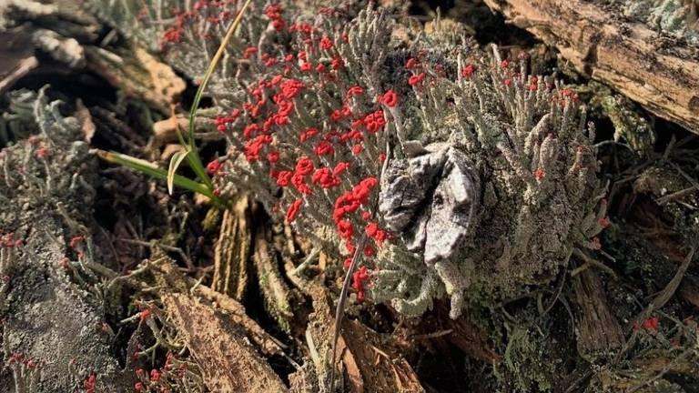 Rode heidelucifer behoort tot de bekertjesmosfamilie (foto: Harrie Brokken).