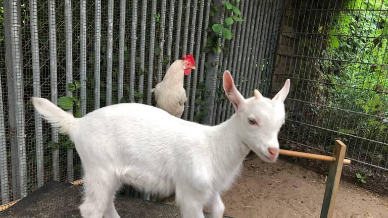 Geitje Lars en kip Coco zijn de beste vrienden (foto: Imke van de laar).