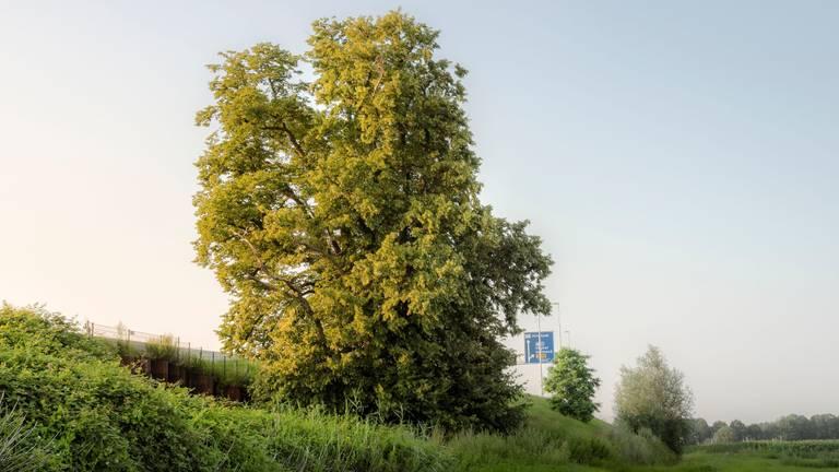 De Kloosterboom langs de snelweg A2 bij Den Dungen (foto: Rob Visser Photography).