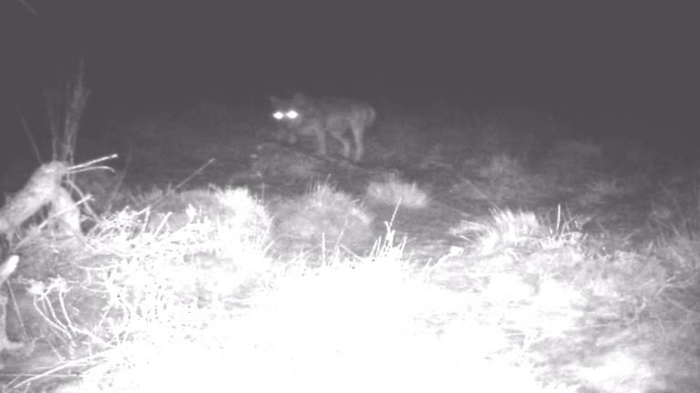 De wolf op de Strabrechtse Heide (foto: NOS)