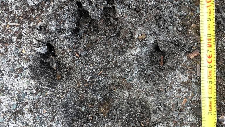 De afdruk van een wolvenpoot (foto: Hans van Lieshout).