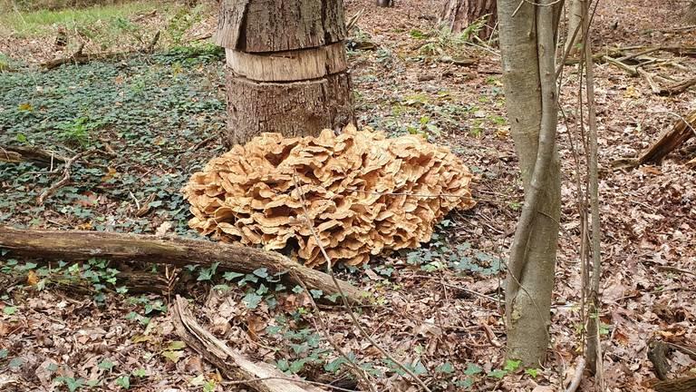 Een reuzenzwam met veel grote hoeden onder een geringde boom (foto: Hetty Uijtdewilligen van Hest).