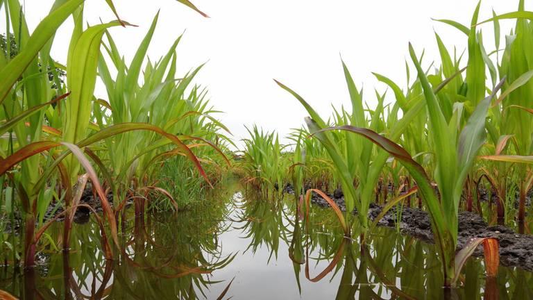 Mais op een ondergelopen akker (foto: Ben Saanen).