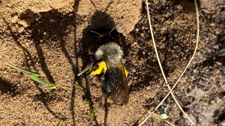 Het vrouwtje van de grijze zandbij, met stuifmeel (foto: Frans Kapteijns).