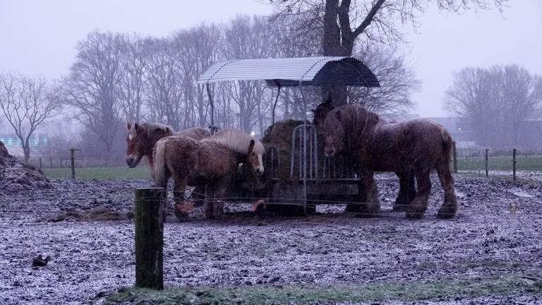 Paarden in de sneeuw (foto: Ben Saanen).