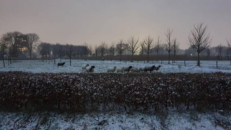 Gelukkig hebben deze schapen in Tilburg een dikke huid (foto: Nolda van Dongen).