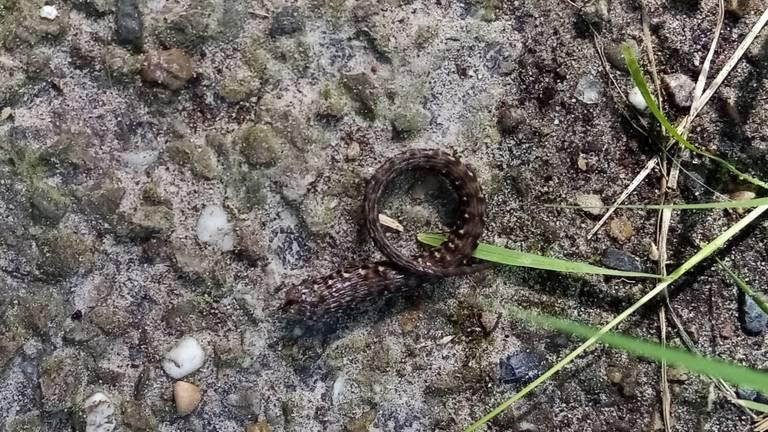 Een kronkelend stukje van een hagedis (foto: Jannie van Tienen).