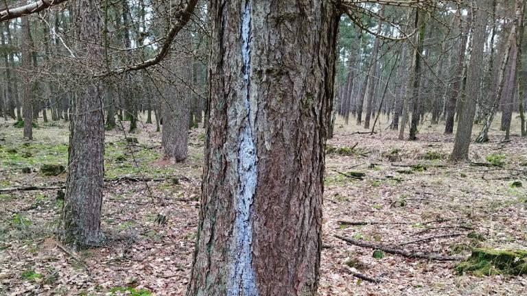 Lichtblauwe verkleuring van hars op een dennenboom (foto: Mariëlle Mutsaers).