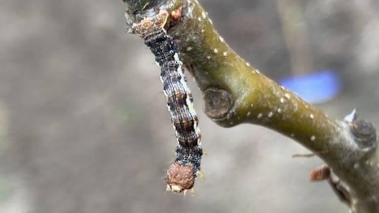 Deze minirups wordt later een minivlinder van 15 millimeter met de naam grote wintervlinder. (foto Corry Duindam).