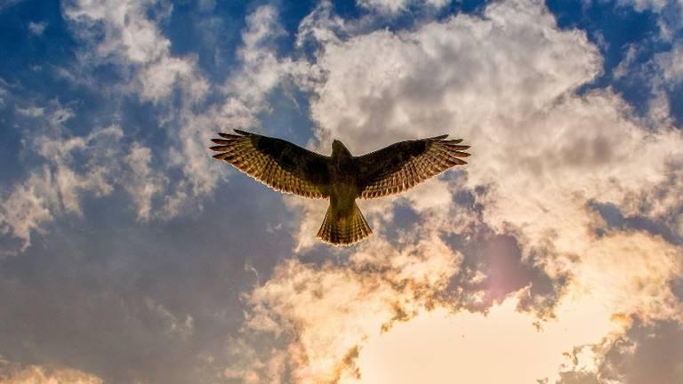 Een buizerd (foto: Pixabay).
