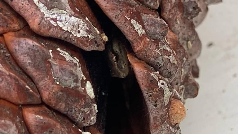 Salamander in dennenappel (foto: Els van Genugten).
