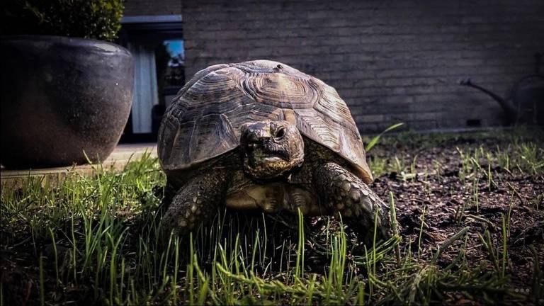 Schildpad Nana voordat ze de poort uitliep (foto: Letty van de Wal)