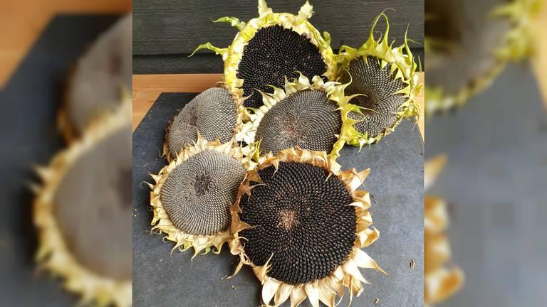 De zonnebloemen van Judith met grote diameter (foto: Judith Nijssen).
