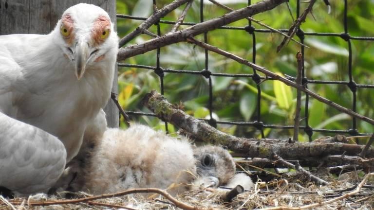 Het palmgiertje dat in Overloon 6 weken geleden uit het ei kroop. (Foto: ZooParc Overloon)