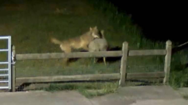 De wolf is vastgelegd op camerabeelden.